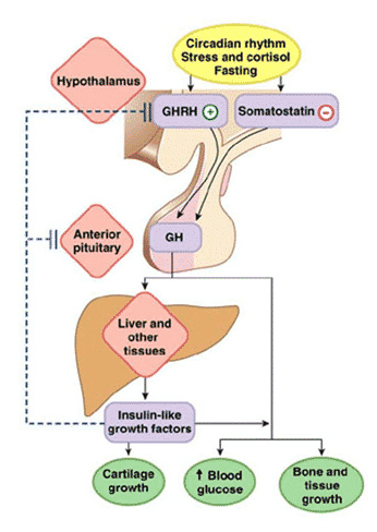 somatotropin hormone